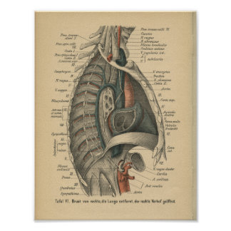 Vintage 1888 German Anatomy Print Thoracic