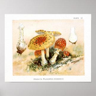 Vintage 1895 Mushrooms Red Yellow Art Print