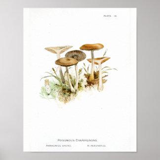 Vintage 1895 Mushrooms White Brown Art Print