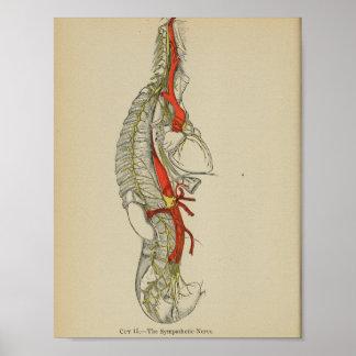 Vintage 1898 Anatomical Sympathetic Nerve Print