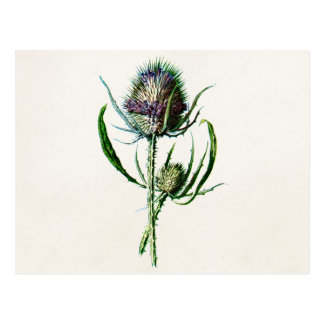 Vintage 1902 Old Scottish Thistle Wild Flower Postcard