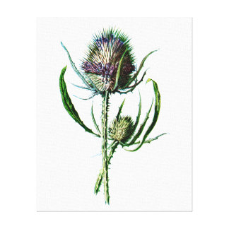 Vintage 1902 Scottish Thistle Antique Wild Flower Canvas Print