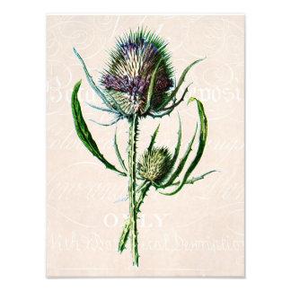 Vintage 1902 Scottish Thistle Old Wild Flower Photograph