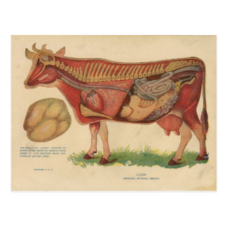Vintage 1912 Cow Anatomy Illustration Postcard