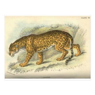 vintage 19th century jaguar illustration postcard