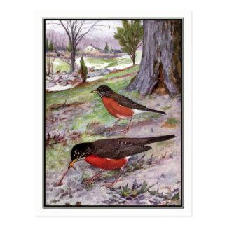 Vintage American Robin - Robert Bruce Horsfall Postcard