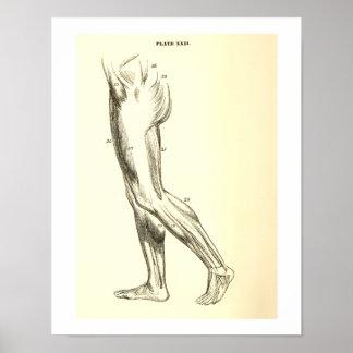 Vintage Anatomy | Leg Muscles II Poster
