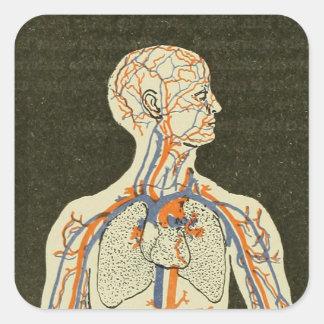 Vintage Anatomy Veins and Arteries Illustration Square Sticker