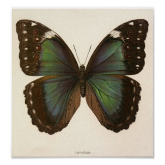 Vintage Animal-Insect-Butterfly-Specimen Poster