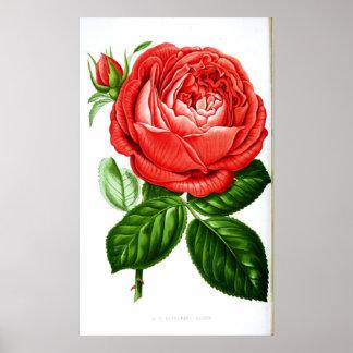 Vintage Art Red Rose Poster