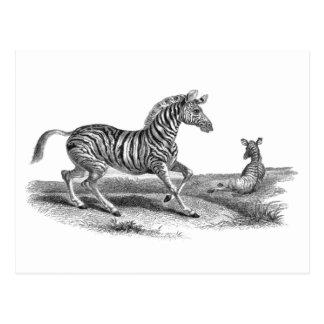 Vintage Art Zebra and Foal Animal Postcard
