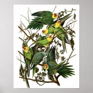 Vintage Audubon Carolina Parakeet Poster Print