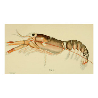 Vintage Baby Lobster Illustration (1895) Poster