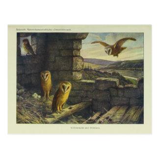 Vintage Barn Owls Art Postcard