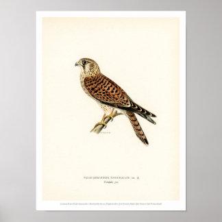 Vintage Bird Illustration - Common Kestrel Poster