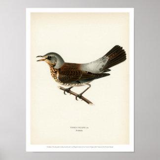 Vintage Bird Illustration - Fieldfare Poster