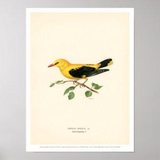 Vintage Bird Illustration - Golden Oriole Poster