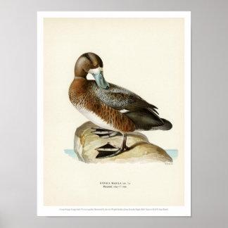 Vintage Bird Illustration - Greater Scaup Poster