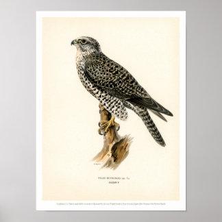 Vintage Bird Illustration - Gyr Falcon male Poster