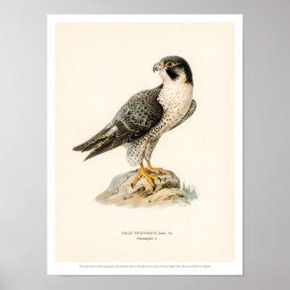 Vintage Bird Illustration - Peregrine Falcon Poster