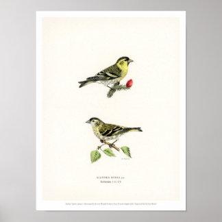Vintage Bird Illustration - Siskin Poster