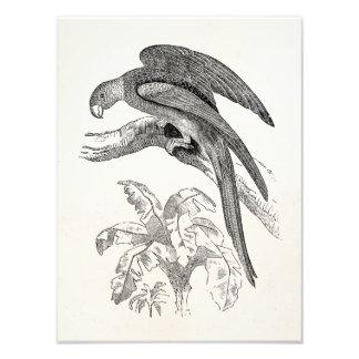 Vintage Birds - Carolina Parrots Tropical Bird Photo