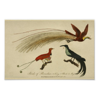 Vintage Birds of Paradise Natural History Print