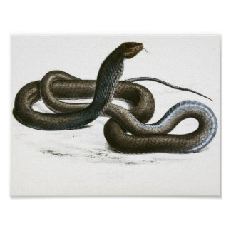 Vintage Black King Cobra Art Poster