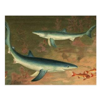 Vintage Blue Shark Eating Fish, Marine Life Postcard