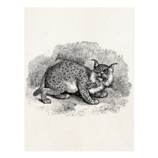Vintage Bobcat 1800s Bob Cat Lynx Illustration Postcard