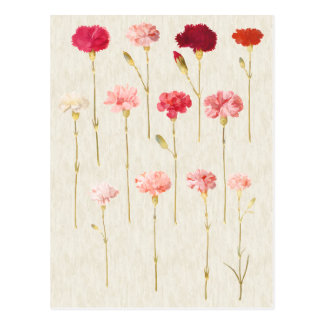 Vintage Botanical Carnations Illustration Postcard