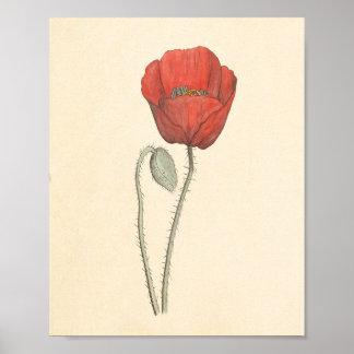 Vintage Botanical Corn Poppy Print