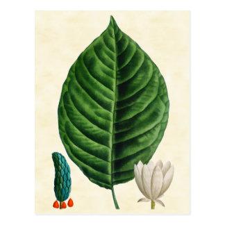 Vintage Botanical Cucumber Tree Illustration Postcard