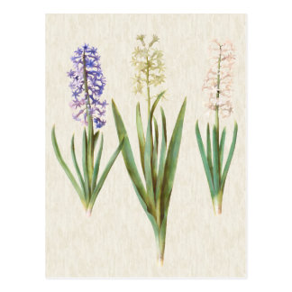 Vintage Botanical Hyacinths Illustration Postcard