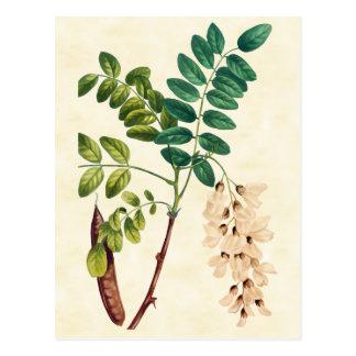 Vintage Botanical Locust Tree Illustration Postcard