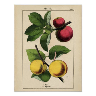 Vintage Botanical Poster - Apple and Apricot