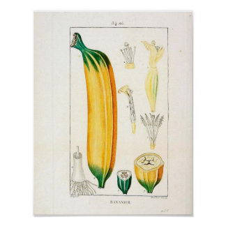 Vintage Botanical Poster - Banana Fruit