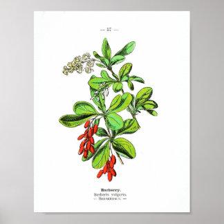 Vintage Botanical Poster - Barberry