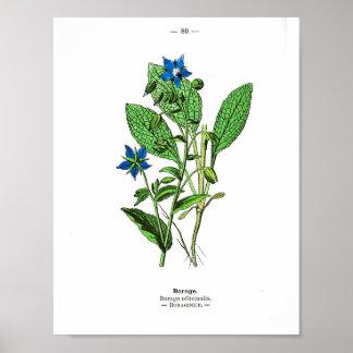 Vintage Botanical Poster - Borage