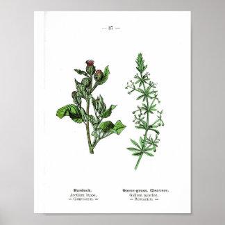 Vintage Botanical Poster - Burdock and Goose Grass