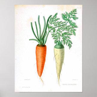 Vintage Botanical Poster - Carrot