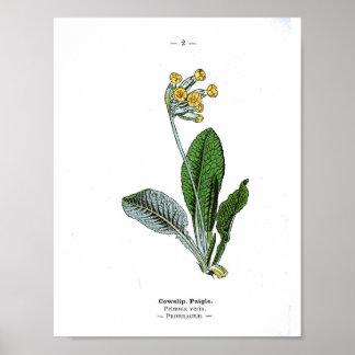 Vintage Botanical Poster - Cowslip