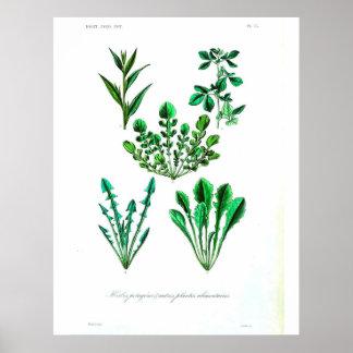 Vintage Botanical Poster - Leafy Vegetable