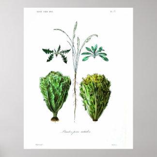 Vintage Botanical Poster - Lettuce