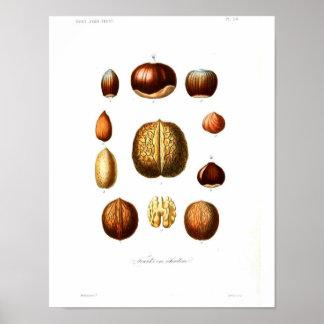 Vintage Botanical Poster - Nuts