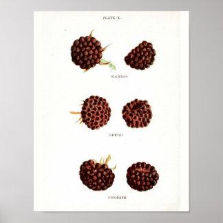Vintage Botanical Poster - Raspberry
