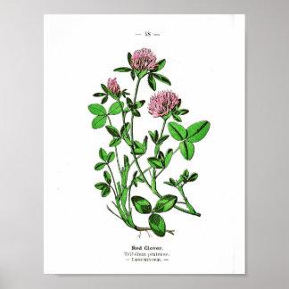 Vintage Botanical Poster - Red Clover
