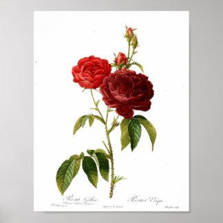 Vintage Botanical Poster - Red Rose