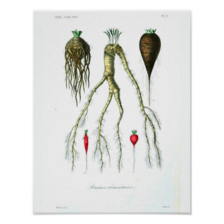 Vintage Botanical Poster - Root Vegetables