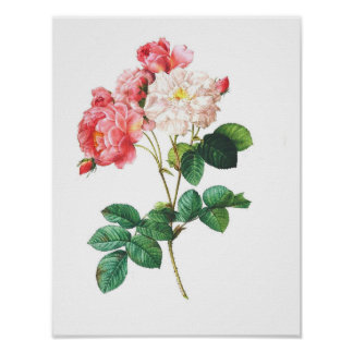 Vintage Botanical Poster - Rose Flower